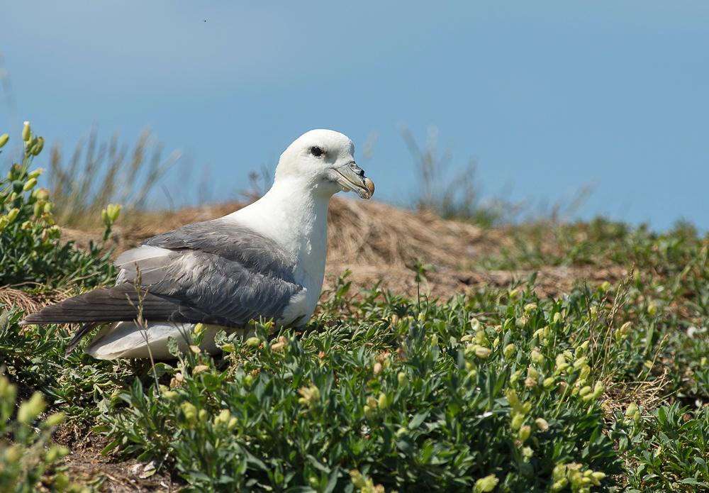 Noordse-stormvogel-1