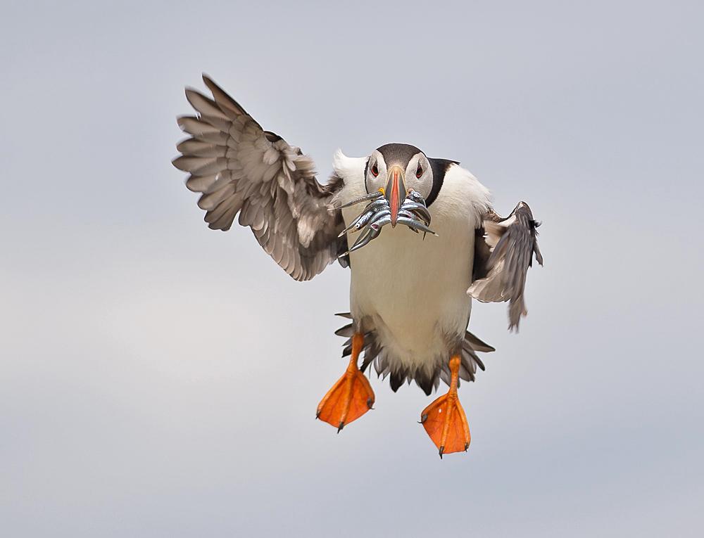 Papegaaiduiker-5