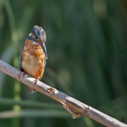 IJsvogel - Algarve