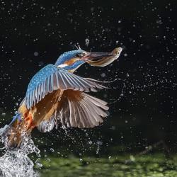 IJsvogel - Naarden