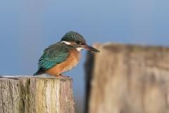 IJsvogel - Waterpark Oude Zeug