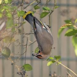 Pestvogel - De Bilt