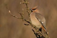 Pestvogel - Texel