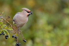 Pestvogel - IJmuiden