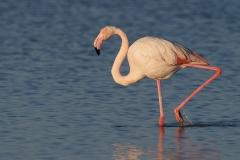 Flamingo - Camargue (Frankrijk)