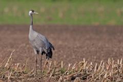 Kraanvogel - Diepholz (Duitsland)