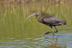 Zwarte ibis - Ebro delta (Spanje)