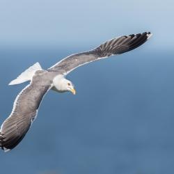 Kleine mantelmeeuw - Isle off  May (Schotland)