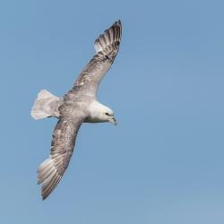 Noordse stormvogel - Isle off  May