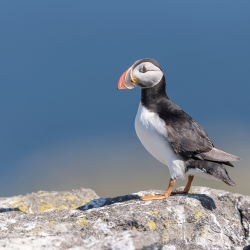 Papegaaiduiker- Isle off  May (Schotland)
