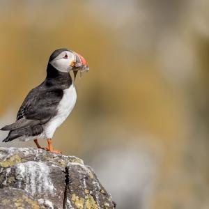 Papegaaiduiker - Isle off  May (Schotland)