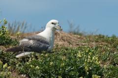 Noordse stormvogel - Farne Islands (Engeland)