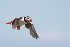 Papegaaiduiker - Farne Islands (Engeland)