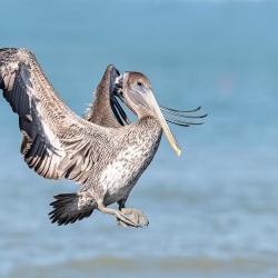 Bruine pelikaan - Honeymoon island