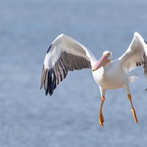 Witte pelikaan - Sanibel island
