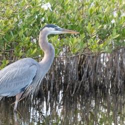 Amerikaanse blauwe reiger - Merrit island Blackpoint Wildlife drive