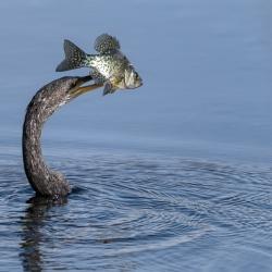 Amerikaanse slangenhalsvogel - Apopka Wildlife drive