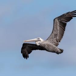 Bruine pelikaan - Fort de Soto