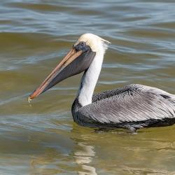Bruine pelikaan - Sanibel island
