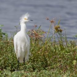 Kleine zilverreiger -  Merrit island Blackpoint Wildlife drive
