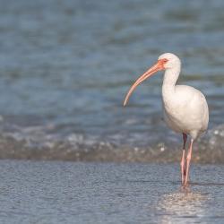 Witte ibis - Sebastian inlet
