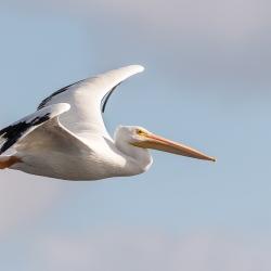 Witte pelikaan - Ford de Soto