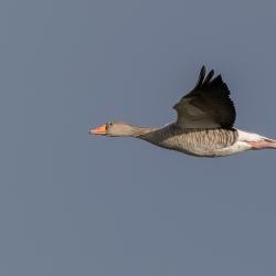 Grauwe gans - polder Arkemheen
