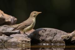 Spotvogel - Hongarije