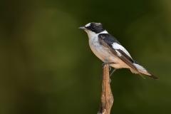 Withalsvliegenvanger - Hongaije